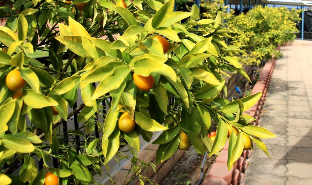 CP kumquattrees